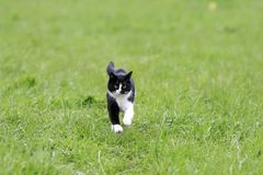 Young cat running on a green juicy meadow. Cute young cat running on a green juicy meadow stock photography