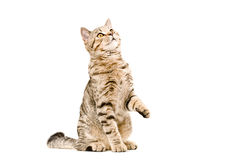 Young cat Scottish Straight  looking up Royalty Free Stock Images