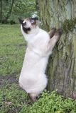 Young cat Siamese type ,Mekong bobtail trying to climb a tree. The young cat Siamese type ,Mekong bobtail trying to climb a tree stock photo