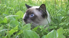 Young cat,Siamese type walks in a grass. The young cat,Siamese type  walks in a grass stock photo