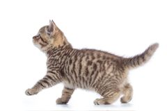 Young cat side view. Walking tabby kitten isolated on white. Background Royalty Free Stock Photography