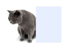 Young cat sits near a banner on a white background Stock Image