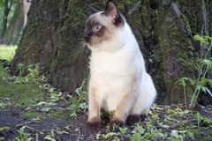 Young cat sits next to a tree Siamese type ,Mekong bobtail. The young cat sits next to a tree Siamese type ,Mekong bobtail stock images