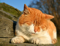 Young cat. Sleeping young cat close up Royalty Free Stock Image
