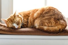 A young cat sleeping on a couch at home, sweet and beautiful. royalty free stock images