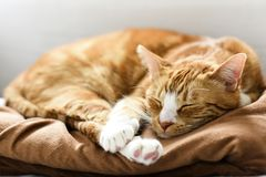 A young cat sleeping on a couch at home, sweet and beautiful. A young cat sleeping on a couch at home, sweet and beautiful royalty free stock photos
