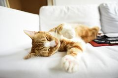 A young cat sleeping on a couch at home, sweet and beautiful. stock photography