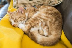 A young cat sleeping on a couch at home, sweet and beautiful. royalty free stock photo