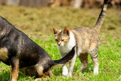 A young cat is standing behind the sitting dark dog. Next to the tail on grass royalty free stock photo