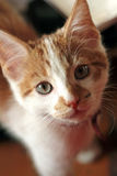 Young cat staring up. Young red-white kitten staring up Stock Image