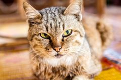 Young Cat Thai make big with a tiger pattern. Background royalty free stock image