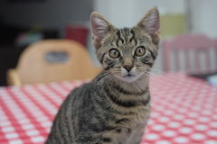 Young cat waiting for food on the table. In the kitchen Stock Images
