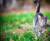 Young cat walking on grass Stock Photos
