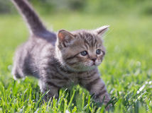 Young cat walking in green grass outdoor Royalty Free Stock Images