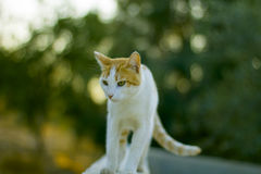 Young cat walking Royalty Free Stock Photos