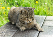 Young Cat on wooden bench in grass. Young Striped Cat on wooden bench in grass stock image