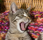 Young cat is yawning. Young cat is yawning and feeling save in its colorful basket Stock Photos