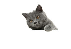 Young cat with yellow eyes on a white background sits behind a w Stock Photos