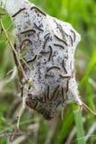 Caterpillars Stock Photography