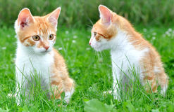 Young cats Royalty Free Stock Photos