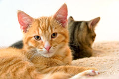 Young Cats Couple Royalty Free Stock Photography