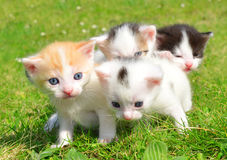 Young cats Royalty Free Stock Image