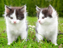 Young cats Royalty Free Stock Photo