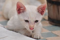 Young cats play. Thai cats play hide and seek Looking around.Smart Cat.Tabby cat plays on the floor.Little white cat and brown are fun to play with Stock Image