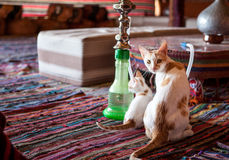 Young Cats in Shisha Shop Royalty Free Stock Images
