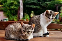 Young cats sitting on a table. Young cats sitting on the table in Garden Kingdom Hortulus Stock Photo