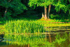 Young cattail marsh Royalty Free Stock Photography