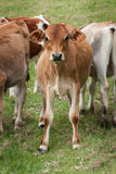 Young cattle calves Stock Photos