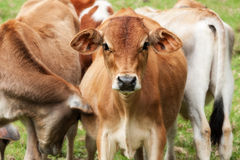 Young cattle calves Royalty Free Stock Photos