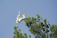 Young Cattle Egret Learning to Fly royalty free stock image