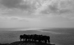 Young cattle grazing near the coast. Niton, Isle of Wight, United Kingdom - September 18, 2016.  Young Cattle huddled together on a hill at the coast Royalty Free Stock Photos