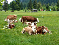 Young cattle of the mountain meadow Stock Image