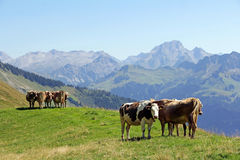 Young cattle in the mountains Royalty Free Stock Images