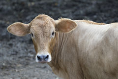 Young cattle standing staring. Stock Image