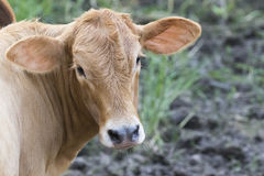 Young cattle standing staring. Stock Photos