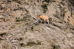 A young Caucasian mountain goat in a natural habitat overcomes the mountains. Survival of the animal in difficult. Natural conditions. Wild animal Royalty Free Stock Photos
