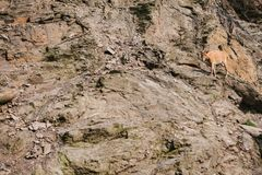 A young Caucasian mountain goat in a natural habitat overcomes the mountains. Survival of the animal in difficult. Natural conditions. Wild animal Royalty Free Stock Image
