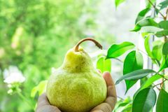 Young Caucasian Woman Holding in Hand Ripe Organic Green Yellowish Pear. Window Green Foliage Nature Background. Room House Plants. Morning Sunlight. Cozy Stock Photos