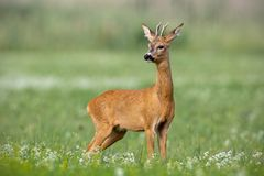Young cautious roe deer buck on blossoming meadow in summer. Young cautious roe deer, capreolus capreolus, buck on blossoming meadow in summer. Male mammal royalty free stock photography