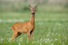 Young cautious roe deer buck on blossoming meadow in summer. Young cautious roe deer, capreolus capreolus, buck on blossoming meadow in summer. Male mammal royalty free stock images