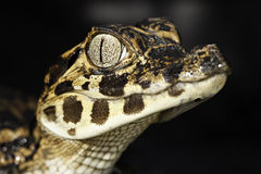 Young Cayman Head Big Eyes Reptile Stock Images
