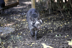 Young cebu pig. Standing in the forest Stock Images