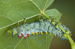 Young cecropia caterpillar Stock Image