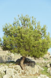 The Young Cedar. Growing on the ruins of ancient city of Pergamon Stock Image