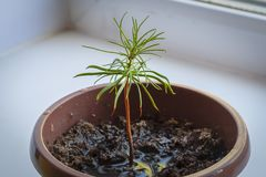 Young cedar pine on the windowsill. stock photos