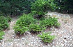 Young Cedar Saplings. Young cedar tree saplings growing in forest, Lebanon stock image